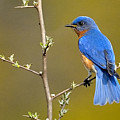 Bluebird Bliss by William Jobes