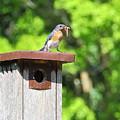 Bluebird Breakfast by Allen Nice-Webb