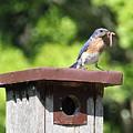 Bluebird Breakfast Feeding by Allen Nice-Webb