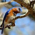 Bluebird Curiousity by Dianne Cowen