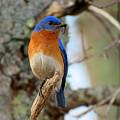 Bluebird Dad by Dianne Cowen