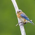 Bluebird by Douglas Neumann