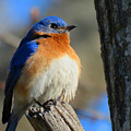 Bluebird Evening by Dianne Cowen