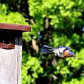 Bluebird Exit by Allen Nice-Webb