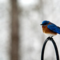 Bluebird Fluffed by Douglas Barnett