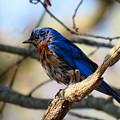 Bluebird In May by Dianne Cowen