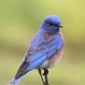 Bluebird Of Happiness by Cheryl Gidding