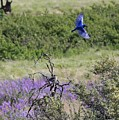 Bluebird Pair In Blickleton by Carol Groenen