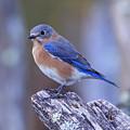 Bluebird by Paul Schultz