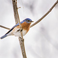 Bluebird Portrait by Barbara Blanchard