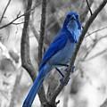 Bluebird by Rand
