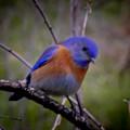 Bluebird by Reed Tim