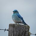 Bluebird by Rhonda Robinson