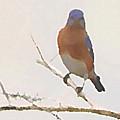 Bluebird Stare  by Shelli Fitzpatrick