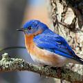 Bluebird Vibrance by Dianne Cowen