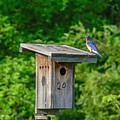 Bluebird With Grub by Allen Sheffield