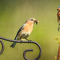 Bluebirds Gather Food For Chicks by Susan Candelario