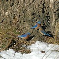 Bluebirds In Spring by Judd Nathan