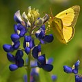 Bluebonnet And Butterfly by Sidney Spires-Mangum