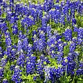 Bluebonnet Blues by Lynn Bauer