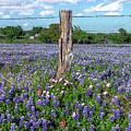 Bluebonnet Field by David Meznarich