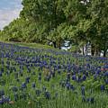 Bluebonnet Field by Sherry Adkins