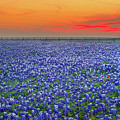 Bluebonnet Sunset Vista - Texas Landscape by Jon Holiday