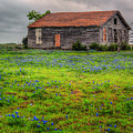 Bluebonnets And Abandoned Farm House by David and Carol Kelly