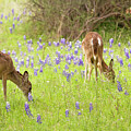 Bluebonnets And Whitetails by David Cutts