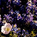 Bluebonnets With Buttercup by Debbie Evans
