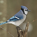 Bluejay 012 by Michael Peychich