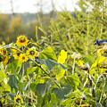 Bluejay And Sunflowers by Alanna DPhoto