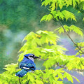 Bluejay by Larry McMahon