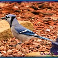 Bluejay Profile by Wendy Fox