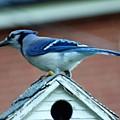 Bluejay  by Scott Welton