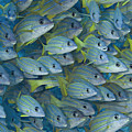 Bluestripe Snapper by Dave Fleetham - Printscapes