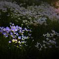 Bluets In Momentary Light by John Meader