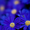 Bluey Gerbera by Mike Reid
