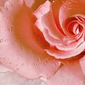 Blush Pink Rose by Phyllis Denton