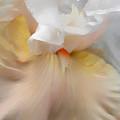 Blushing Peach Iris Flower by Jennie Marie Schell