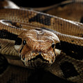 Boa Constrictor Imperator Color, On Isolated Black Background by Sergey Taran