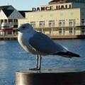 Boardwalk Seagull by Nora Martinez