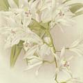 Boat Orchid  Cymbidium by English School