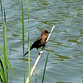 Boat Tailed Grackle Female by J M Farris Photography