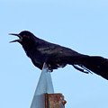 Boat Tailed Grackle by William Tasker