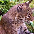 Bobcat by Deborah Ferrence