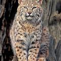 Bobcat Felis Rufus Captive by Dave Welling