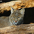 Bobcat Hiding In A Log by Barbara Bowen