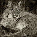 Bobcat In Black And White by Karen Adams