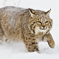 Bobcat In Snow by Jerry Fornarotto